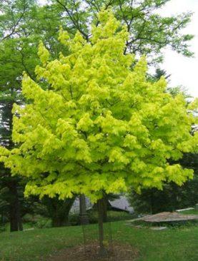 Acer platanoides 'Princeton Gold'