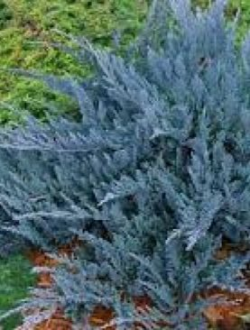 Juniperus horizntalis