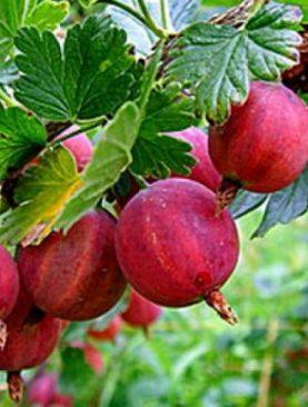 Ribes uva-crispa 'Hinnonmaki Rot'